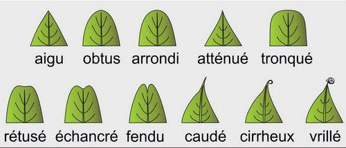 Apex-feuilles