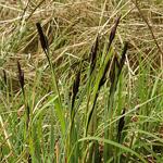 Carex-acutiformis