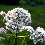 Fleurs-de-Valeriane