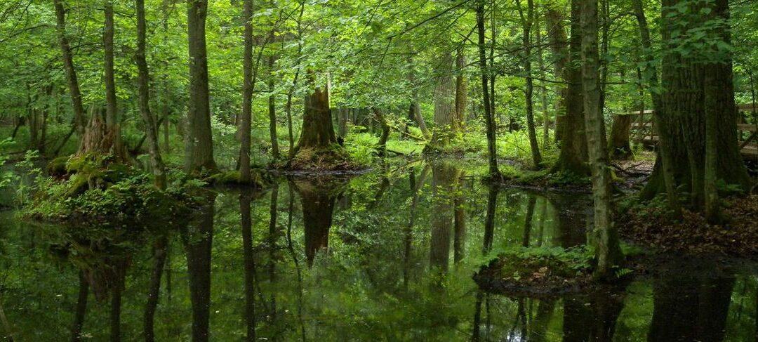 La forêt Białowieża, Pologne