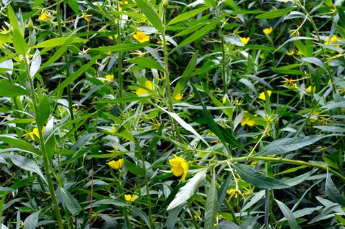 Ludwigia grandiflora-Jussie