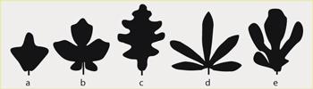 feuilles-lobees