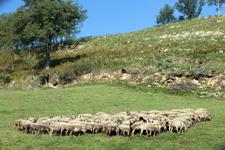 moutons-pyrénées