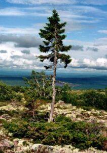 Plus vieil arbre du monde